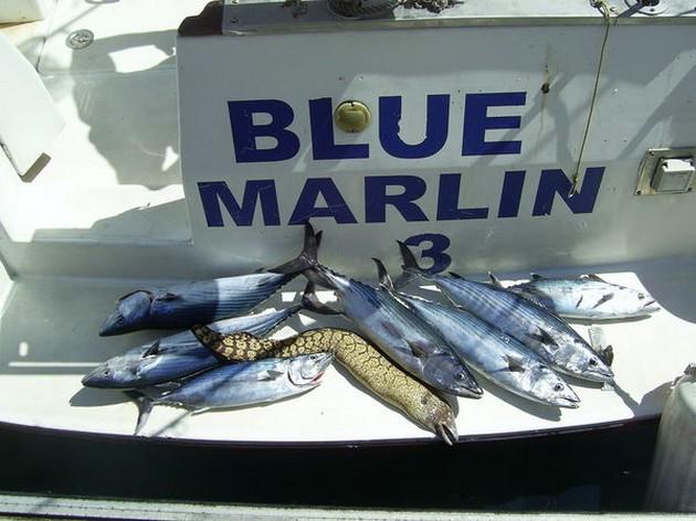 De albacores waren er jammer genoeg maar enkele dagen. - Cavalier & Blue Marlin Sport Fishing Gran Canaria