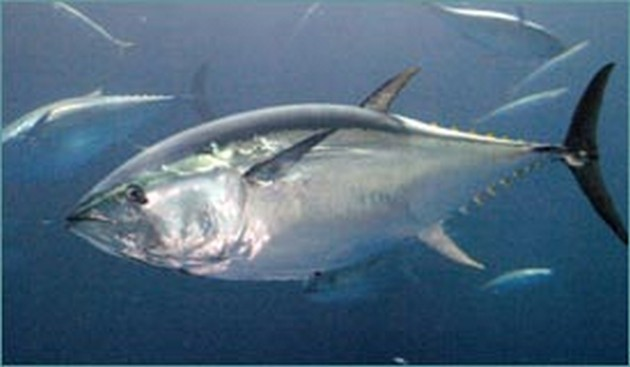 2007 could be the year that the magnificent bluefin - Cavalier & Blue Marlin Sport Fishing Gran Canaria