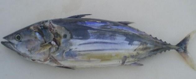 De Blue Marlin 3 en de Cavalier hebben vandaag slepend - Cavalier & Blue Marlin Sport Fishing Gran Canaria