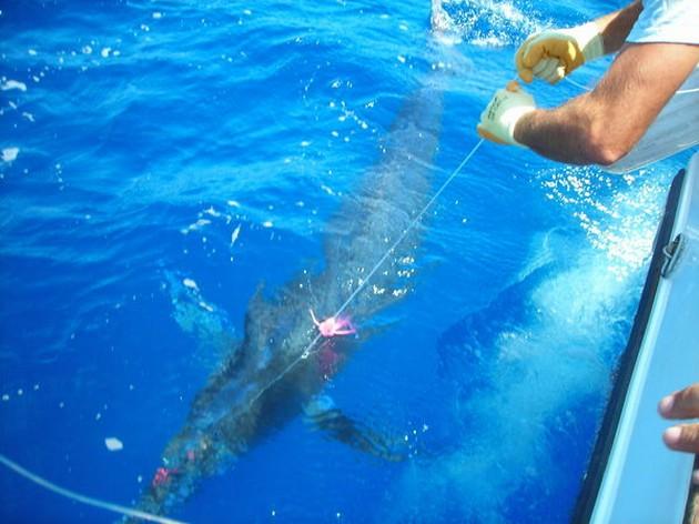 Puerto Rico - 17.15 uurBLAUWE MARLIJN LOSGELATENHet - Cavalier & Blue Marlin Sport Fishing Gran Canaria