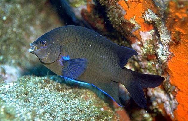 Fabretto - Cavalier & Blue Marlin Sport Fishing Gran Canaria
