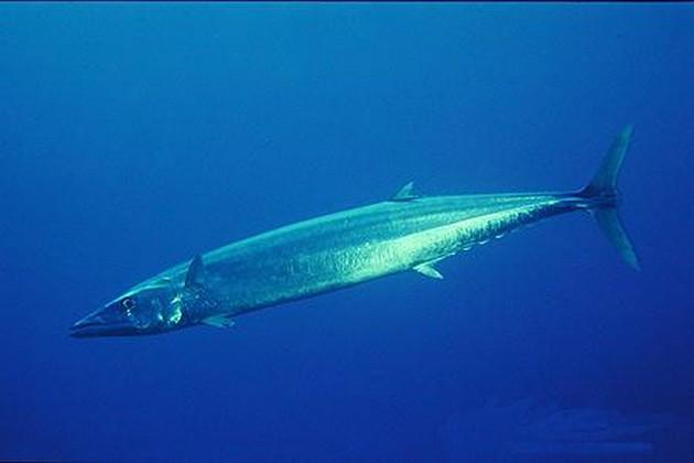Wahoo - Thazard Bâtard - Cavalier & Blue Marlin Sport Fishing Gran Canaria