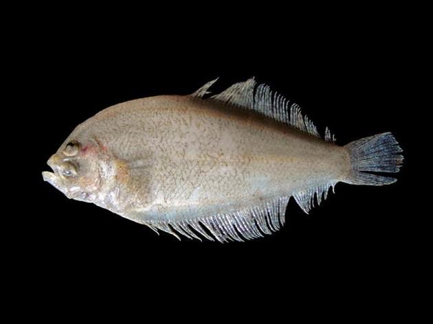 Suacia cianchetta - Cavalier & Blue Marlin Sport Fishing Gran Canaria