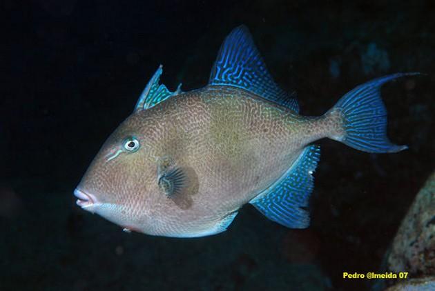 Baliste cabri - Pesca Deportiva Cavalier & Blue Marlin Gran Canaria