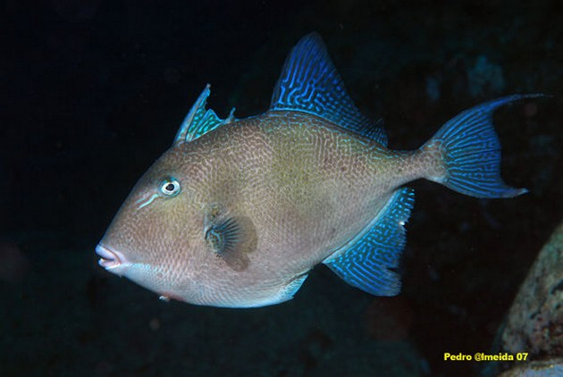 Pesce balestra - Cavalier & Blue Marlin Sport Fishing Gran Canaria