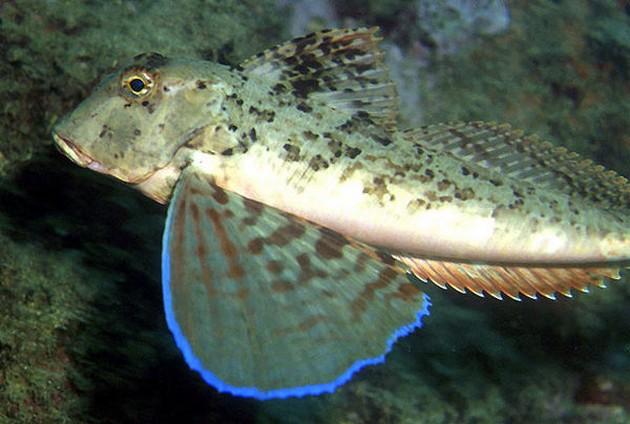Gallinella camusa - Cavalier & Blue Marlin Sport Fishing Gran Canaria