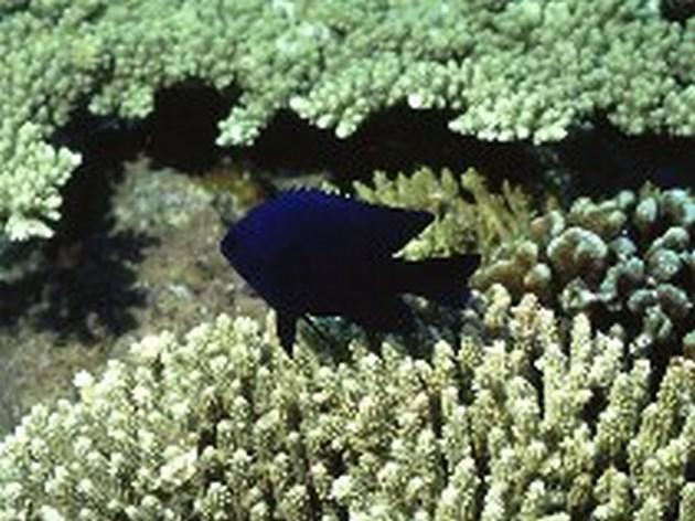 Petite Castagnole - Cavalier & Blue Marlin Sport Fishing Gran Canaria