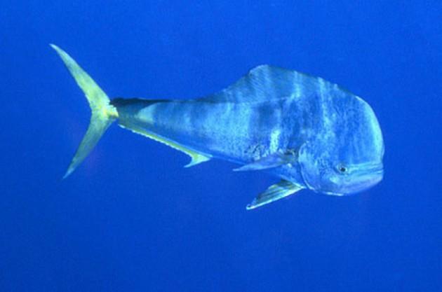Goudmakreel - Dorado - Cavalier & Blue Marlin Sport Fishing Gran Canaria