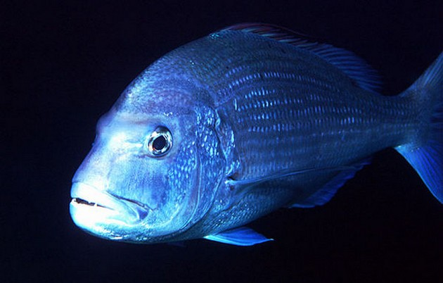Tandbrasem roze - Cavalier & Blue Marlin Sport Fishing Gran Canaria
