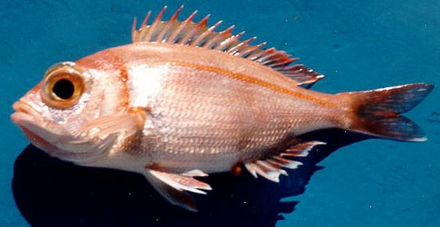 Tandbrasem grootoog - Cavalier & Blue Marlin Sport Fishing Gran Canaria