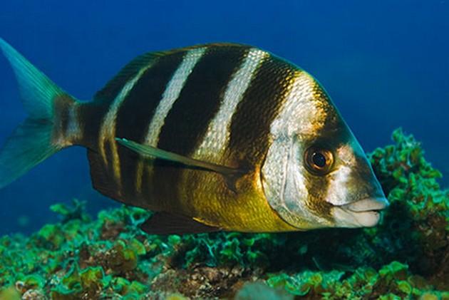 Sar rubanné - Pesca Deportiva Cavalier & Blue Marlin Gran Canaria