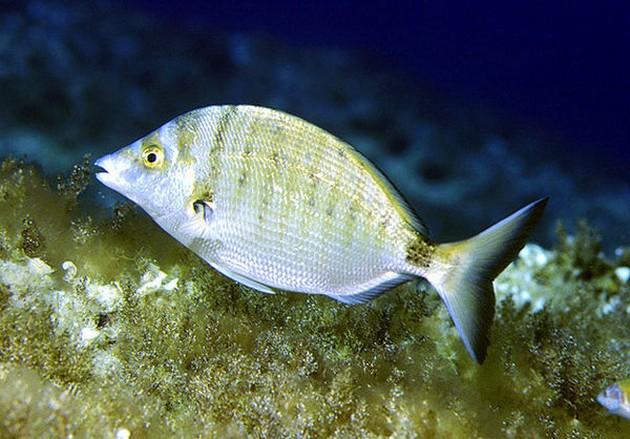 Sar à Museau Pointu - Cavalier & Blue Marlin Sport Fishing Gran Canaria
