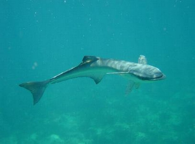 Remora schildvis - Cavalier & Blue Marlin Sport Fishing Gran Canaria