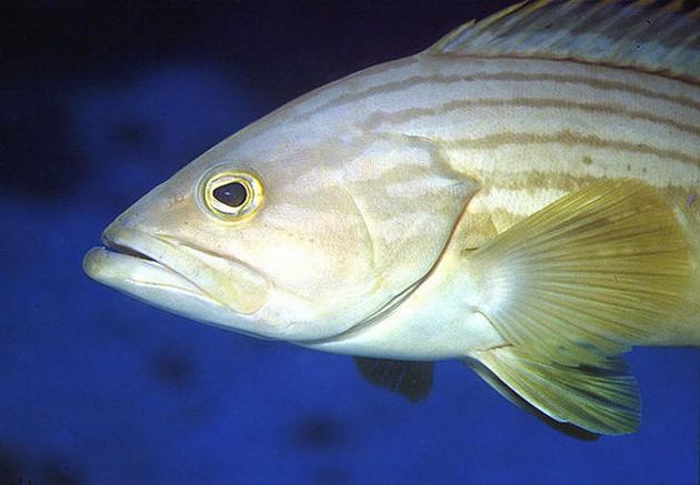 Cernia dorata - Cavalier & Blue Marlin Sport Fishing Gran Canaria