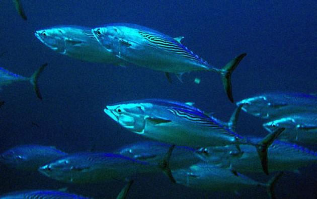 Melva - Cavalier & Blue Marlin Sport Fishing Gran Canaria