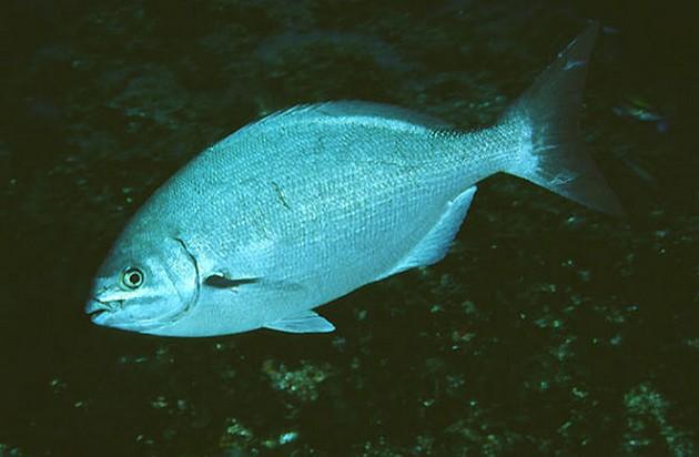 Loodsbaars - Cavalier & Blue Marlin Sport Fishing Gran Canaria