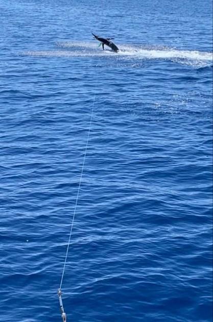 600 lbs Blue Marlin - Cavalier & Blue Marlin Sport Fishing Gran Canaria