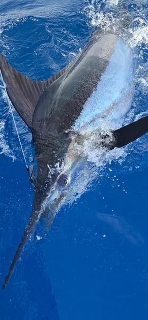 1/4 Blue Marlin - Cavalier & Blue Marlin Sport Fishing Gran Canaria