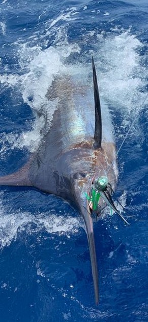 3 Blue Marlin - Cavalier & Blue Marlin Sport Fishing Gran Canaria