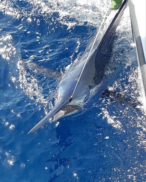 4 Blues & 1White - Cavalier & Blue Marlin Sport Fishing Gran Canaria