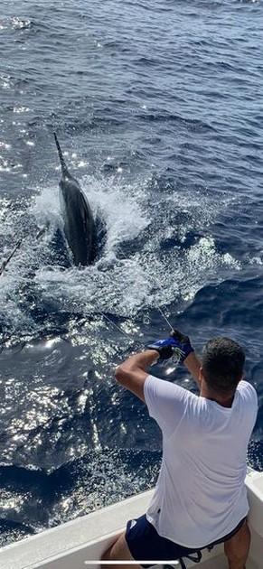 650 lbs Blue Marlin - Cavalier & Blue Marlin Sport Fishing Gran Canaria