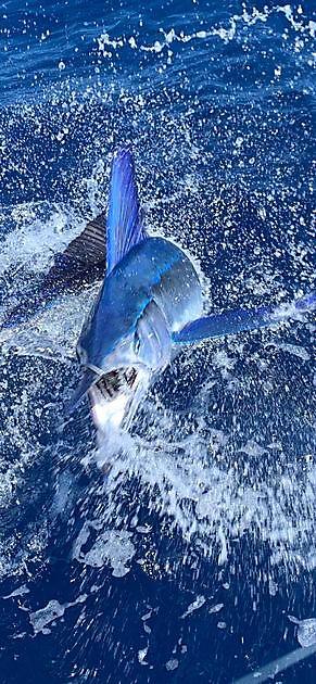 Cavalier released Blue Marlin & Spearfish - Cavalier & Blue Marlin Sport Fishing Gran Canaria
