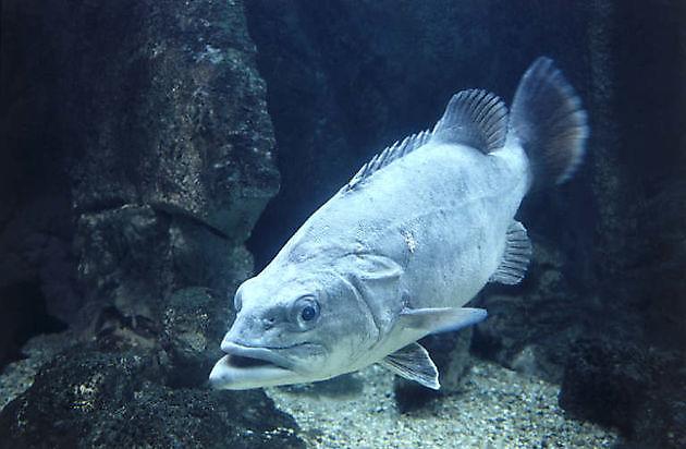Cernia di Fondale - Cavalier & Blue Marlin Sport Fishing Gran Canaria