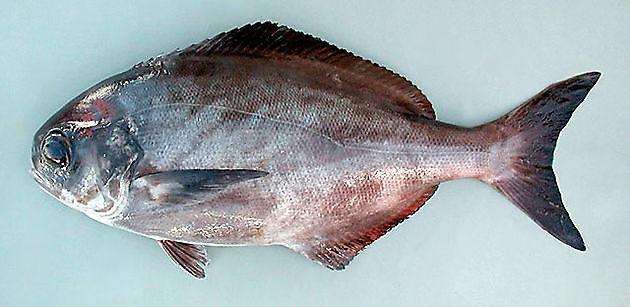 Zeebrasem schedelloze - Cavalier & Blue Marlin Sport Fishing Gran Canaria
