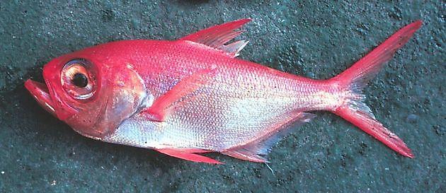 Béryx Rouge - Cavalier & Blue Marlin Sport Fishing Gran Canaria