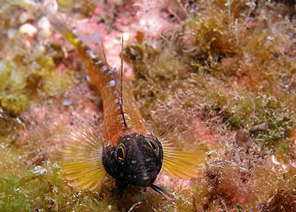 Peperoncino giallo - Cavalier & Blue Marlin Sport Fishing Gran Canaria