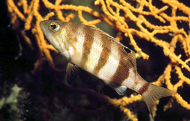 Serran hépate - Cavalier & Blue Marlin Sport Fishing Gran Canaria