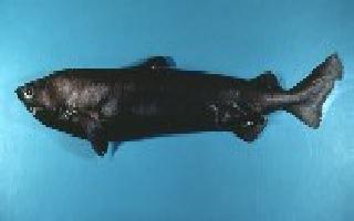 Centroscinmno - Pesca Deportiva Cavalier & Blue Marlin Gran Canaria