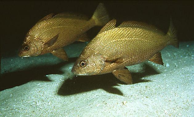 Scienidi Canariensis - Cavalier & Blue Marlin Sport Fishing Gran Canaria
