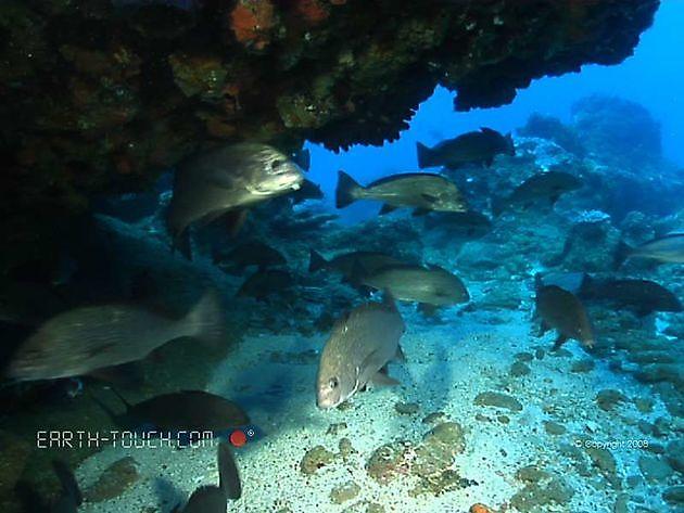 Havsgosfiskar - Cavalier & Blue Marlin Sport Fishing Gran Canaria