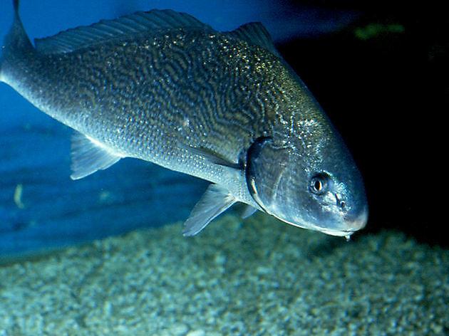 Ombrine commune - Cavalier & Blue Marlin Sport Fishing Gran Canaria