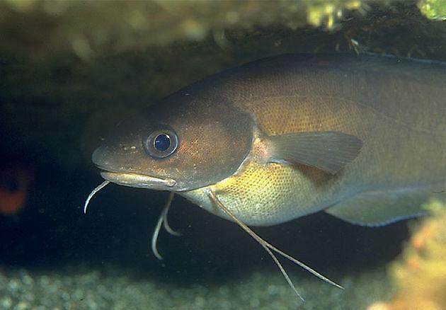 Mostelle de Roche - Cavalier & Blue Marlin Sport Fishing Gran Canaria