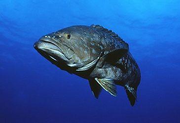 Zaagbaars eiland - Cavalier & Blue Marlin Sport Fishing Gran Canaria