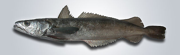 Merluzzo - Cavalier & Blue Marlin Sport Fishing Gran Canaria