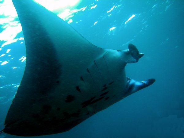 Mante geante - Pesca Deportiva Cavalier & Blue Marlin Gran Canaria