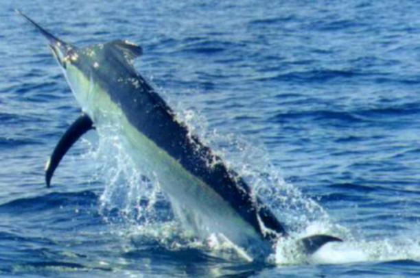 Marlin Blu - Pesca Deportiva Cavalier & Blue Marlin Gran Canaria