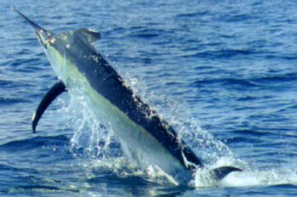 <p>Makaira Bleu</p> - Cavalier &amp;amp; Blue Marlin Sport Fishing Gran Canaria