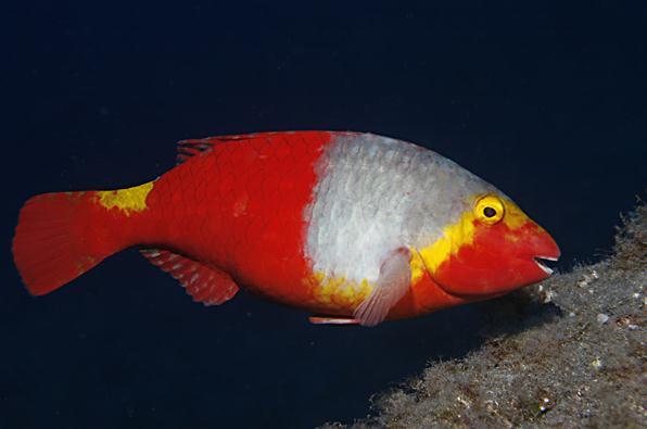Perroquet Vieillard - Pesca Deportiva Cavalier & Blue Marlin Gran Canaria