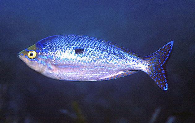 Mendola Commun - Cavalier & Blue Marlin Sport Fishing Gran Canaria