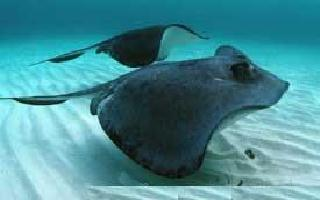 Raie Miaillee - Cavalier & Blue Marlin Sport Fishing Gran Canaria