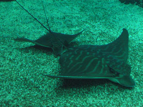 Pipistrello Raya - Cavalier & Blue Marlin Sport Fishing Gran Canaria