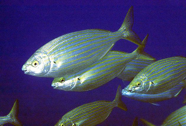 Salpa Sarpa - Pesca Deportiva Cavalier & Blue Marlin Gran Canaria