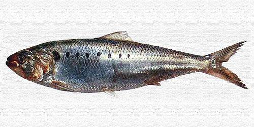 Alose feinte - Cavalier & Blue Marlin Sport Fishing Gran Canaria