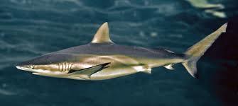 Requin Cuivre - Pesca Deportiva Cavalier & Blue Marlin Gran Canaria