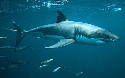 Gran Requin Blanc - Pesca Deportiva Cavalier & Blue Marlin Gran Canaria