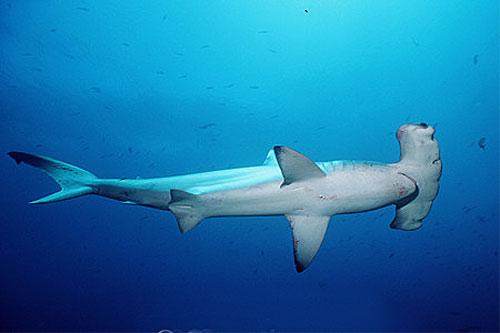 Squalo Martello Smerlato - Cavalier & Blue Marlin Sport Fishing Gran Canaria